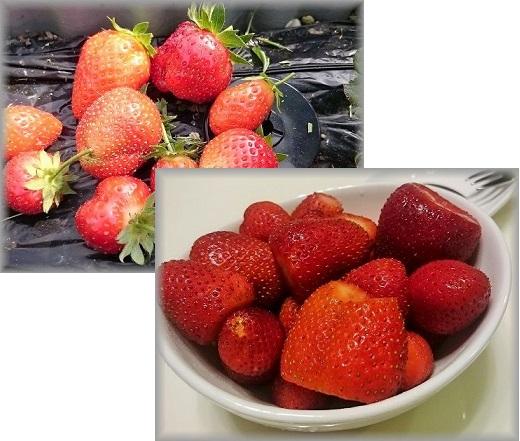 いちごの収穫.jpg